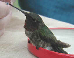 Ruby-throated Hummingbird photo by Tom Walker 04-May-02