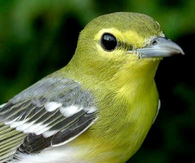 Yellow throated vireo fall - photo#27