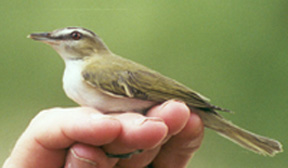 Red-eyed Vireo photo by Dorothy Metzler 14-Apr-01