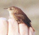 Winter Wren photo by Dorothy Metzler 27-Dec-01.